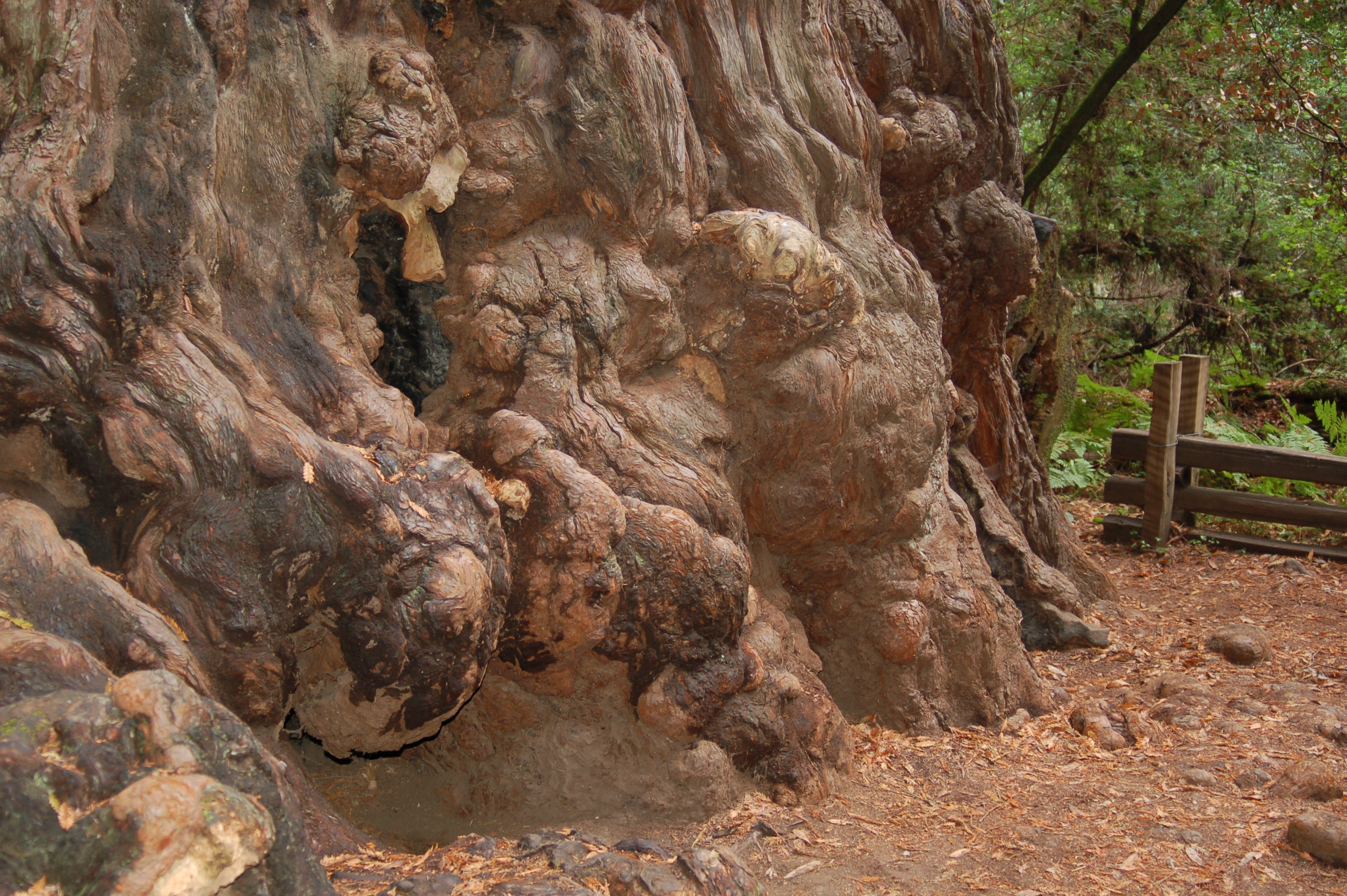 Material Spotlight Redwood Burl Experiment With Nature